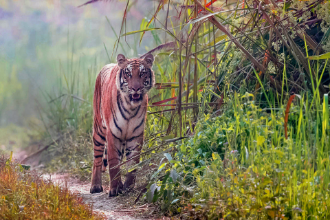 Encounter with the Royal Bengal Tiger in Nepal's woods